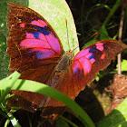 Leafwing Superb