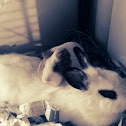 Domestic Rabbit and Guinea Pig