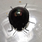 Dark Vader Beetle