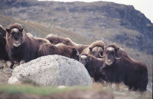 muskox-northern-Quebec - The Nunavik region of northern Quebec, Canada, offers rugged terrain and wildlife, such as this herd of muskox.