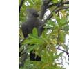 Go-away-bird (Grey Lourie)