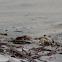 caranguejo-branco-da-areia, Maria Farinha