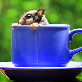 In the cup by Sugeng Sutanto - Animals Other Mammals ( sugarglider )