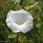 Liseron des haies / Hedge bindweed