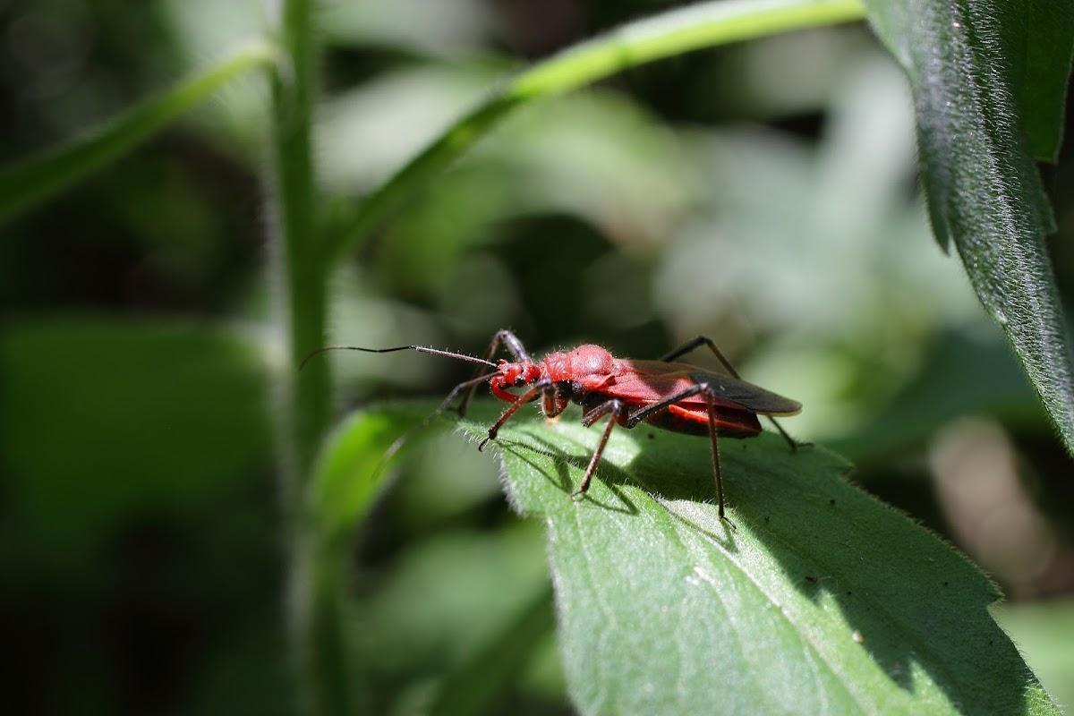 Cydnocoris russatus