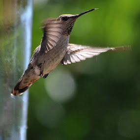 Fly By by Ed Hanson - Animals Birds ( bird, nature, green, brown, close-up )