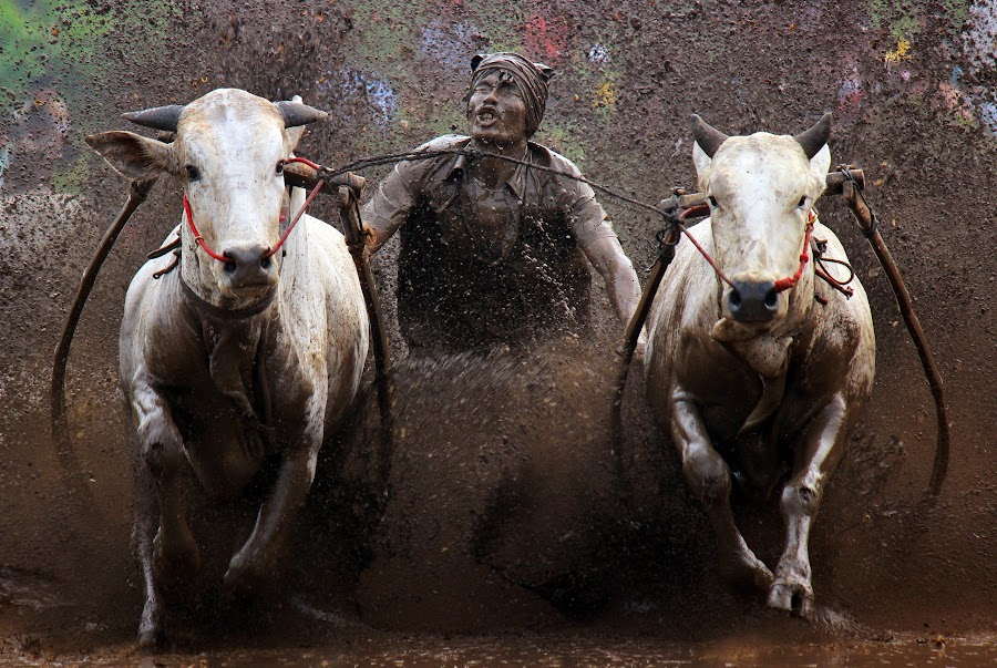 Cow race in West Sumatra, Indonesia. by Ed Nofri - Sports & Fitness Rodeo/Bull Riding