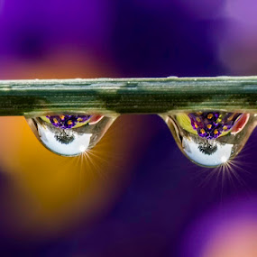 Bleue drops by Romain Bruot - Nature Up Close Natural Waterdrops ( macro, waterdrop, drops, nikon, flower )