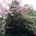 Flowering dogwood.