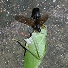 Wasp feeding on Tettigoniid grasshopper