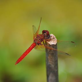 Balancing Act by Ed Hanson - Animals Insects & Spiders ( balance, red, stick, wings, dragonfly )