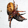 Furrow Orb Weaver Spider