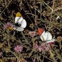 Colotis sp. Butterflies