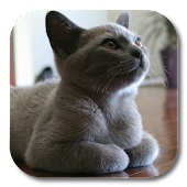 British Shorthair LWP