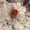 Red Tachinid Fly