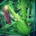 Hybrid sweet corn