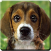Puppy Beagle Live Wallpaper