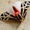 Mexican tiger moth