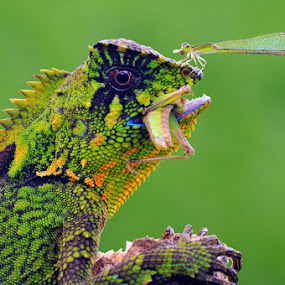 Eating together by Andri Priyadi - Animals Reptiles ( lizard, damselfly, insect, insects, chameleon, nikon d90, reptiles, macro, indonesia, dragonfly, reptile, nikon, animal )