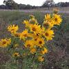 Camphor weed/Golden aster
