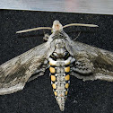 5-spot Tomato Hornworm Moth