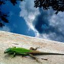 Balkan wall lizard (Γουστέρα του Ταύρου)