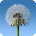 Dandelions Live Wallpaper icon