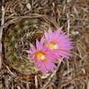 Simpson Hedgehog Cactus