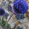 Globe Thistle 'Platinum Blue'