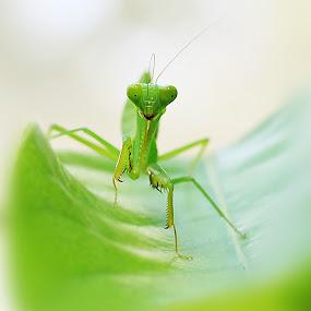 belalang daun by Azay Boyan - Animals Insects & Spiders