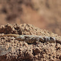 Ornate Spiny-tailed Lizard (male)