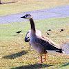 Goose Hybrid.