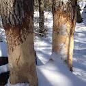 Beaver teeth marks on pine tree