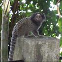 Sagui-de-tufo-preto ou Mico estrela  (Black tufted marmoset)