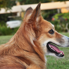 Rosie by Carmel Bation - Animals - Dogs Portraits ( animals, dogs, ginger, brown,  )