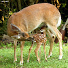 White-tailed deer, fawn