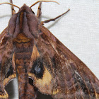 Small-eyed Sphinx - Hodges#7825