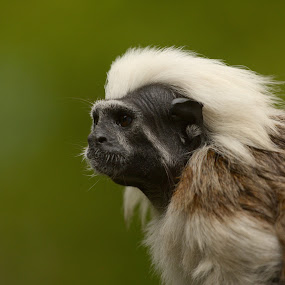 Cotton top tamarin by Matevz Skerget - Animals Other Mammals ( monek, tmarin )