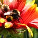 Bees & Echinacea