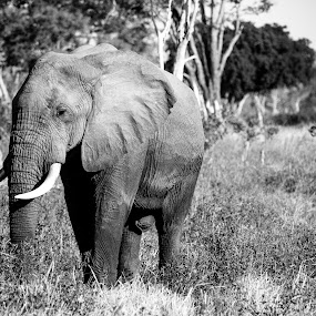 The Majestic by Werner Booysen - Animals Other Mammals ( wild animal, wilderness, nature, black and white, elephant, zambia, safari, wildlife, nature photography, werner booysen, , animal )