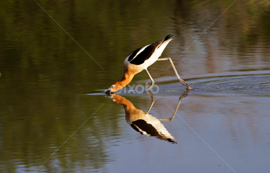 I think I got it!  by Cheryl Nestico - Animals Birds ( water, reflection, lake, american avocet, birds, avocet )