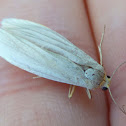 Dingy Footman Moth - dead one ;(