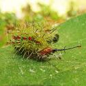 Gray Cracker Caterpillar