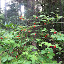 Red Huckleberry