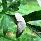 cream wave moth