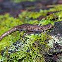 Sacramento Mountain Salamander
