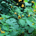 Jewel Weed, Touch-me-not