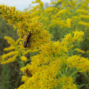 Goldenrod Soldier Beetles Mating