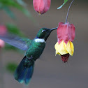 Wedge-billed Hummingbird
