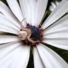 Flower Crab spider.